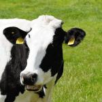 カゼインとは牛乳・乳製品アレルギーや癌の原因タンパク質