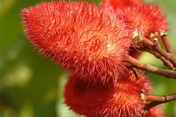 annatto