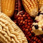 遺伝子組み換え(GMO)について